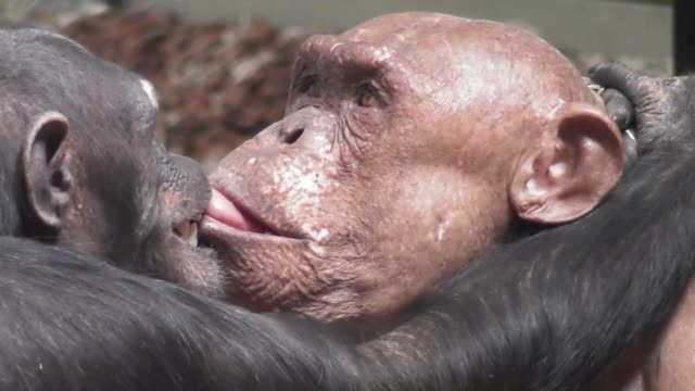 vidéos et rushes de this is the emotional moment when two hairless chimpanzees share their love and affection for each other. watch as they act like lovers do in a way... - embrasser sur la bouche