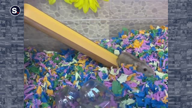 this pampered hamster, known as little latte, enjoyed a carefree break as it dined at a miniature home, before playing around on its very own beach.... - body care stock videos & royalty-free footage