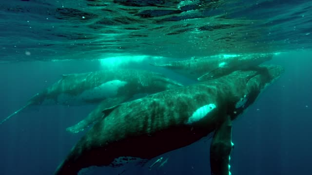 vídeos de stock e filmes b-roll de this person was swimming in the sea when a mother whale, her calf and a very large male came up to see them. it must be so amazing to swim this close... - organismo aquático