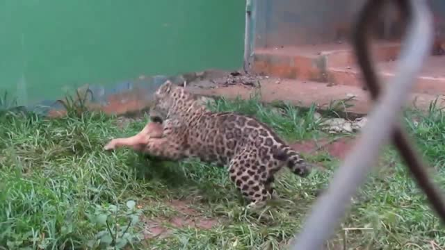 this rescued jaguar cub was treated to a leg of lamb for dinner in brazil. the beautiful animal gets fed chicken necks most days, but when a lamb... - animal leg stock videos & royalty-free footage