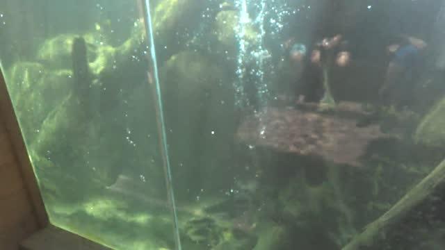 vídeos y material grabado en eventos de stock de this river otter is having a fantastic day swimming loop-de-loops in front of his window! so awesome! - nutria de río