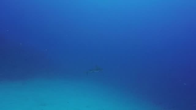 this scuba very surprised to have a close encounter with a ten foot caribbean reef shark as he came over a coral reef in belize. he has his eye on a... - caribbean reef shark stock videos & royalty-free footage
