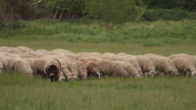 this shot captures a flock of sheep feeding together on grass in a field in rome, italy. in the background a biker bikes past and two runners also... - flock of sheep stock videos & royalty-free footage