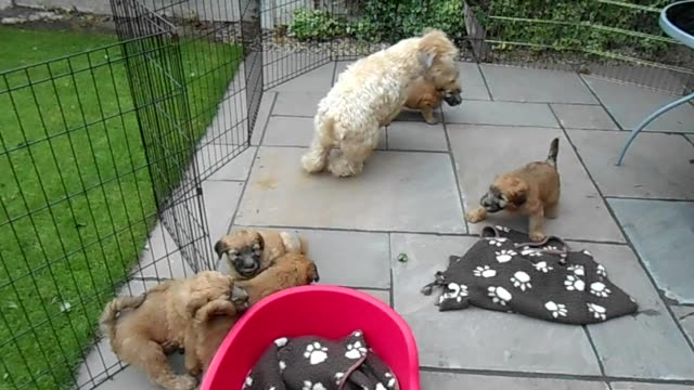 vídeos y material grabado en eventos de stock de this soft coated wheaten terrier mom is spending some quality time playing catch me if you can with her adorable 9 week old puppies in the back yard.... - terrier