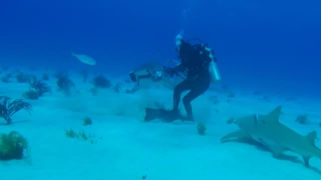 vídeos y material grabado en eventos de stock de this tiger shark is fascinated by a scuba diver's camera and literally chews on it to see what it is crazy - escafandra autónoma