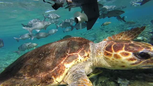 this very young loggerhead seat turtle fearlessly approaches a swimmer in a marine sanctuary. so cool! - caretta caretta stock videos & royalty-free footage