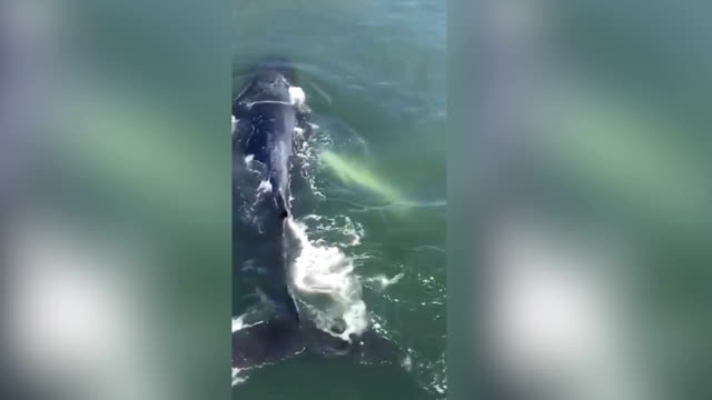 this video show the 4th day reynolds the humpback was spotted inside reynolds channel in atlantic beach, ny shot with a cell phone - gestrandet stock-videos und b-roll-filmmaterial