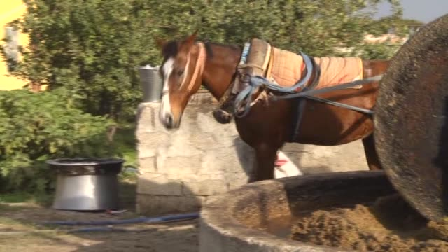 this video shows the traditional way of olive oil production in hatay, turkey on 9 november, 2015. a horse spins 1,5 tonner stone over 3 hours, stone... - hooved animal stock videos & royalty-free footage