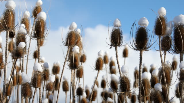 thistle against blue cloudy sky with snow on top of each head - thistle stock videos & royalty-free footage