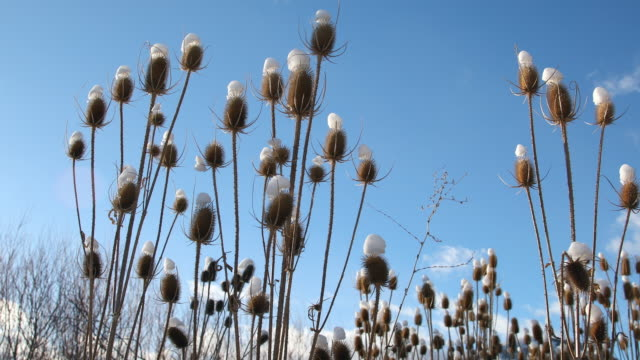 thistle against blue sky with snow on top of each head - thistle stock videos & royalty-free footage