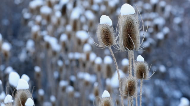 thistle blowing in the cold breeze - thistle stock videos & royalty-free footage