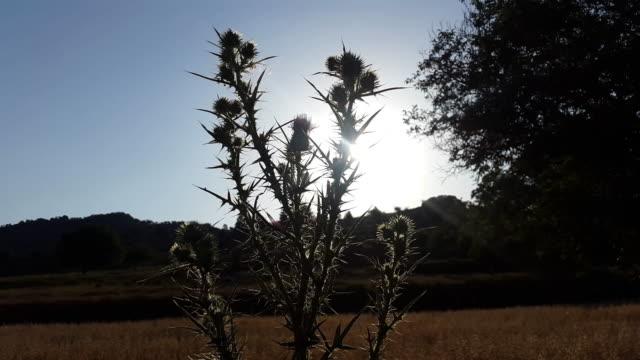 Cardo en silueta contraluz con puesta de sol en un campo con montañas en castilla de la mancha España