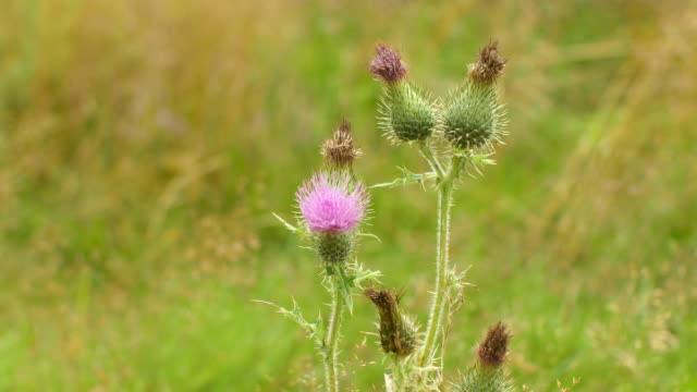 thistle - thistle stock videos & royalty-free footage
