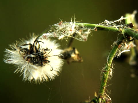 pal: thistle - thistle stock videos & royalty-free footage