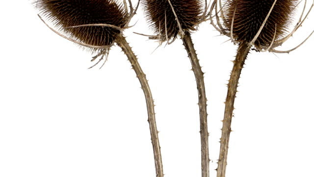 thistle - spiked stock videos & royalty-free footage