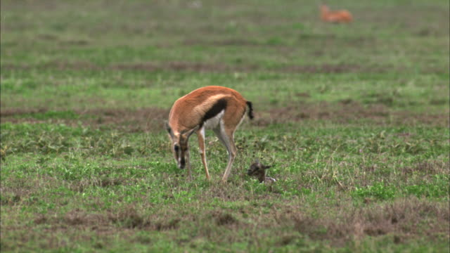 a thompson's gazelle stands up to inspect and clean her newly born fawn in serengeti national park. - fawn stock videos & royalty-free footage
