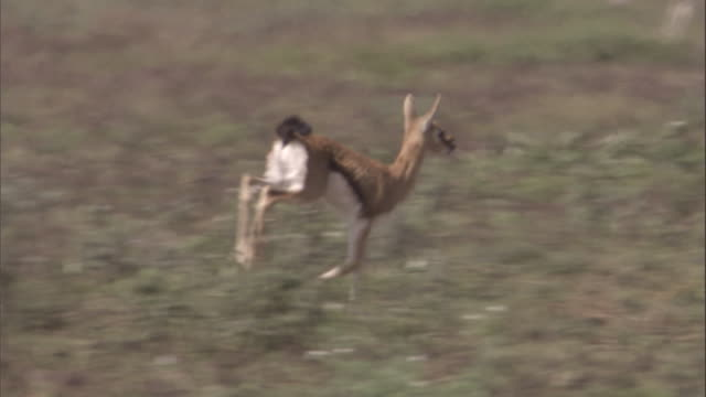 thomson's gazelle fawn runs over savannah. available in hd. - fawn stock videos & royalty-free footage