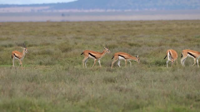 thomson's gazelle  herd - herbivorous stock videos & royalty-free footage