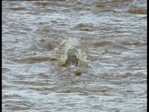thomson's gazelle is attacked by two nile crocodiles as it crosses river - uccidere video stock e b–roll