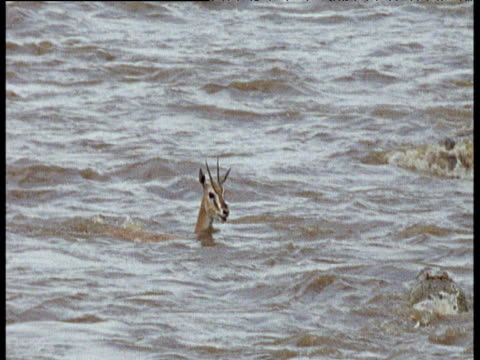 Thomson's gazelle is attacked by two Nile crocodiles as it crosses river