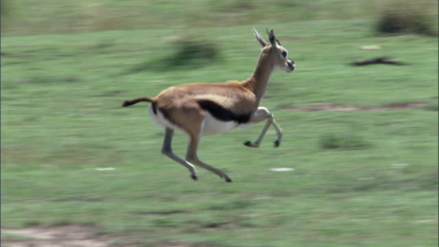 vídeos de stock, filmes e b-roll de thomson's gazelle (eudorcus thomsonii) runs away on savannah, masai mara, kenya - antílope mamífero ungulado