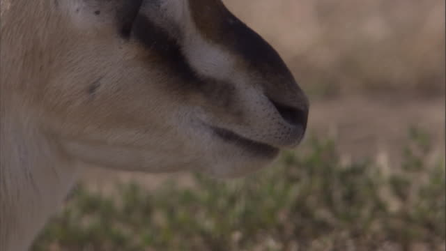 A Thomson's gazelle slowly chews cud in Ndutu, Tanzania. Available in HD.