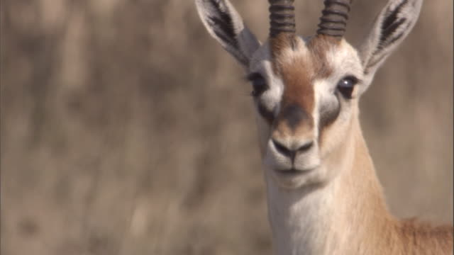 A Thomson's gazelle turns its head and walks away. Available in HD.