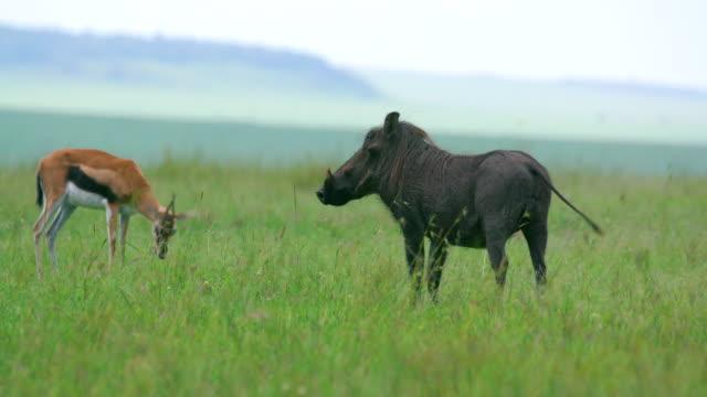 vídeos de stock, filmes e b-roll de thomson's gazelle & warthog maasai mara  kenya  africa - javali africano
