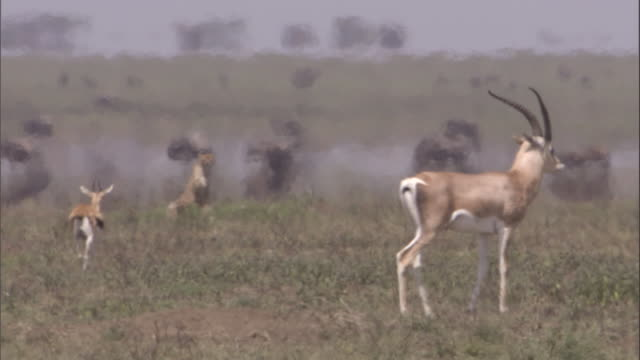 thomson's gazelle with fawn, cheetah watches in heat haze. available in hd. - fawn stock videos & royalty-free footage