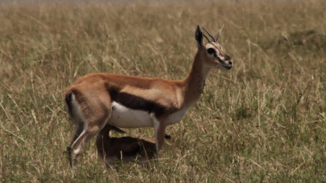 thomson's gazelle (eudorcus thomsonii) with suckling newborn calf on savannah, kenya - young animal stock videos & royalty-free footage