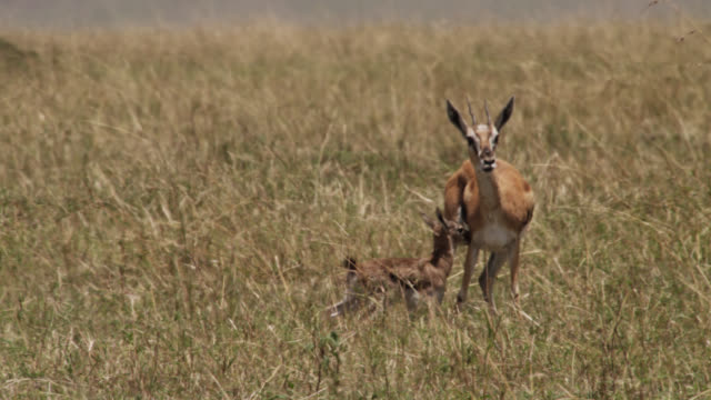 thomson's gazelle (eudorcus thomsonii) with wobbling newborn calf on savannah, kenya - young animal stock videos & royalty-free footage