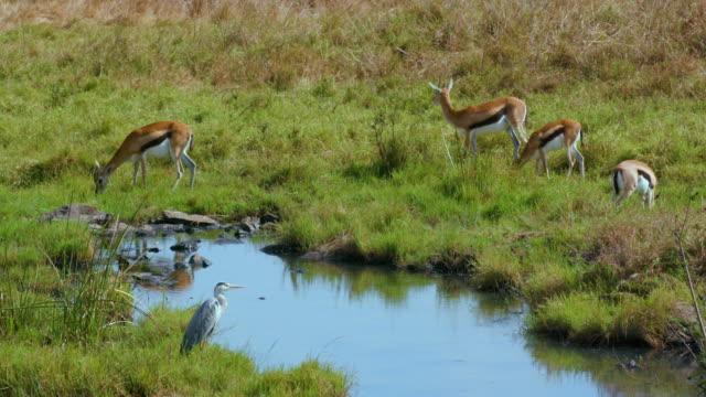 Thomson'S Gazelles & Grey Heron Nairobi  Kenya  Africa