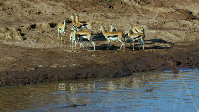Thomson'S Gazelles On Bank Of Mara River Maasai Mara  Kenya  Africa