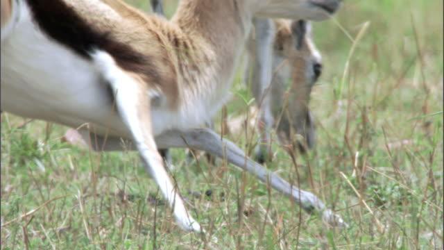 Thomson's gazelles (Eudorcus thomsonii) run away, Masai Mara, Kenya