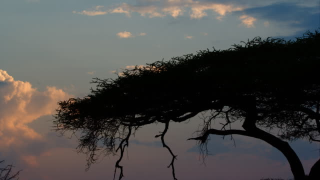 thorn tree silhouette - thorn stock videos & royalty-free footage