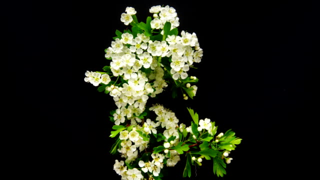 Thornapple flower blooming on black background. Crataegus bush.