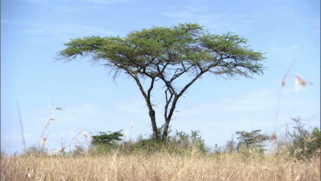 Thorny Acacia tree on savannah, Uganda