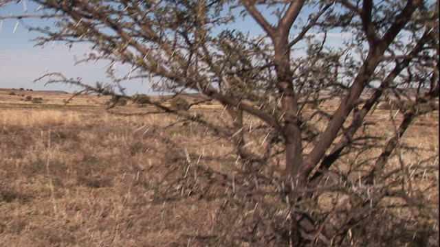 thorny acacia trees grow on an arid plateau in south africa. - とげのある点の映像素材/bロール