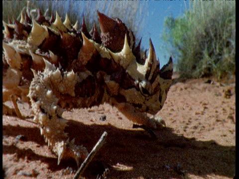 Thorny Devil Lizard Videos und B-Roll-Filmmaterial   Getty ...