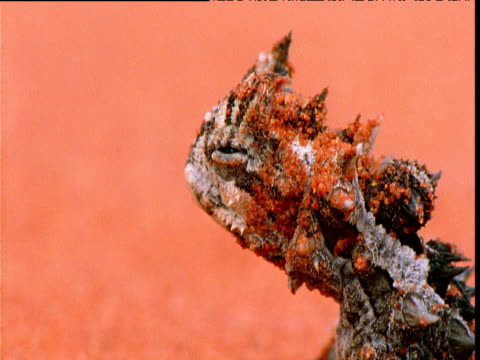 vídeos de stock e filmes b-roll de thorny devil lizard looks around against red sand, alice springs, australia - rocha vermelha