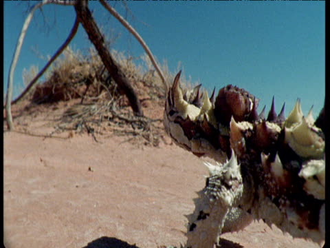 thorny devil walks ponderously over desert - とげのある点の映像素材/bロール