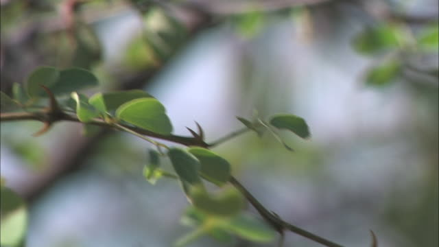 a thorny, leafy branch trembles. - thorn stock videos & royalty-free footage