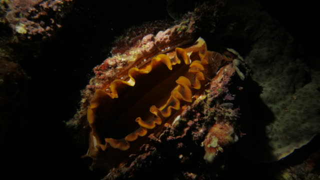Thorny Oyster filters feeding undersea