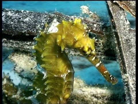 cu thorny seahorse, on shipwreck, mabul, borneo, malaysia - タツノオトシゴ点の映像素材/bロール