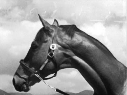 thoroughbred horse racing legend seabiscuit wearing bridle, posing for camera / minor superimposition of horse race. racehorse seabiscuit on january... - bridle stock videos & royalty-free footage