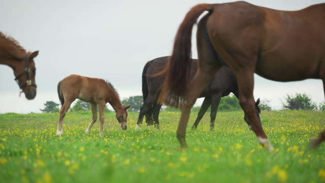 vidéos et rushes de thoroughbred horses walk in lush field of flowers - brouter
