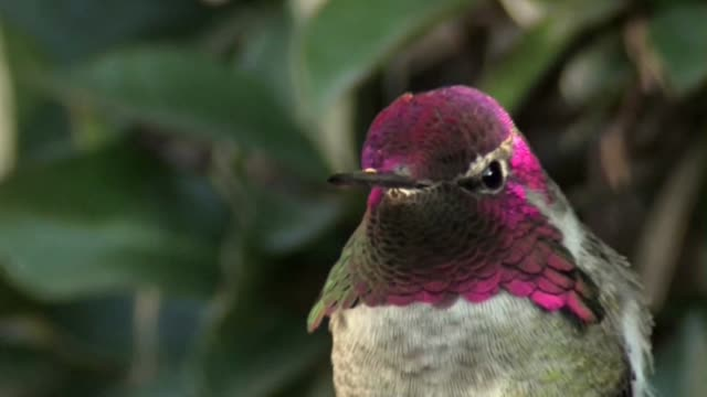 """though it may not actually change color, this hummingbird's movement within sunlight creates a memorizing """"color-change"""" illusion. - illusion stock videos & royalty-free footage"""