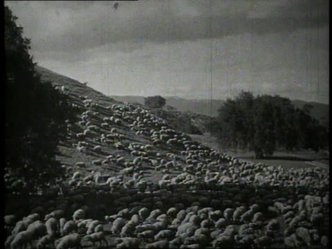 vídeos y material grabado en eventos de stock de 1940 ws thounited statesnds of sheep grazing on a hillside / united states - oveja merina