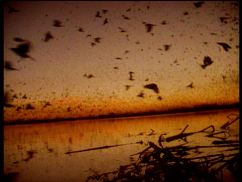Thousands of birds swarm over calm lake at sunrise