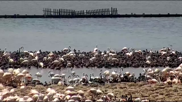 thousands of flamingo chicks are seen on an artificial island at izmir bird paradise in gediz delta in turkey's western city of izmir on june 13 2019... - flamingo chick stock videos & royalty-free footage